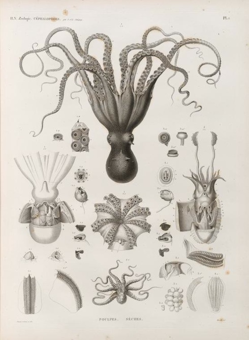 Octopus image from New York Public Library digital archive
