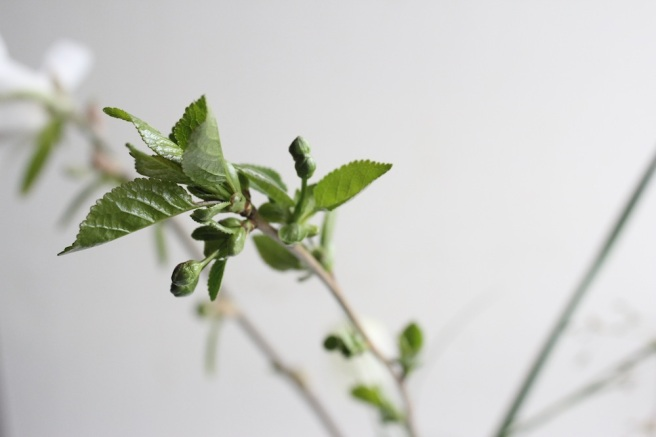 Morello cherry bud