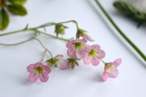 Alpine flowers?