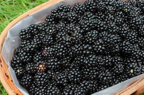 Trug of blackberries