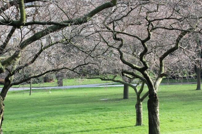 Prunus x subhirtella