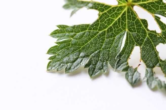 chewed leaf