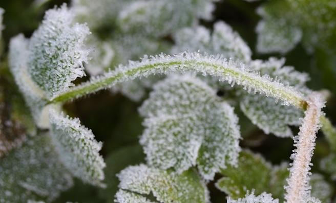 Frosty stem