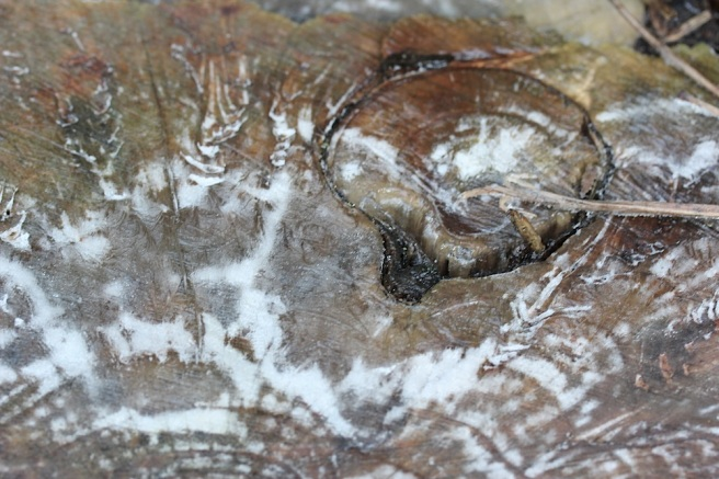 frosty tree stump
