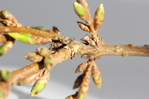 Branch in  bud