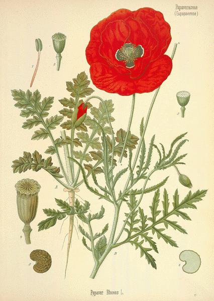 Vintage poppy image