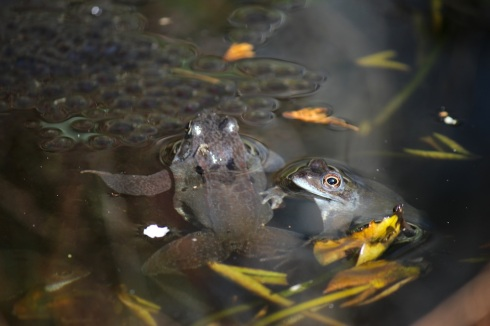Affectionate frogs