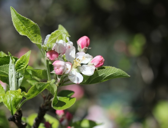 apple blossom | Wolves in London