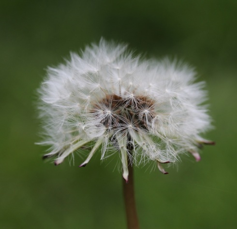 Dandelion head | Wolves in London