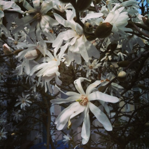 Magnolia stellata | Wolves in London