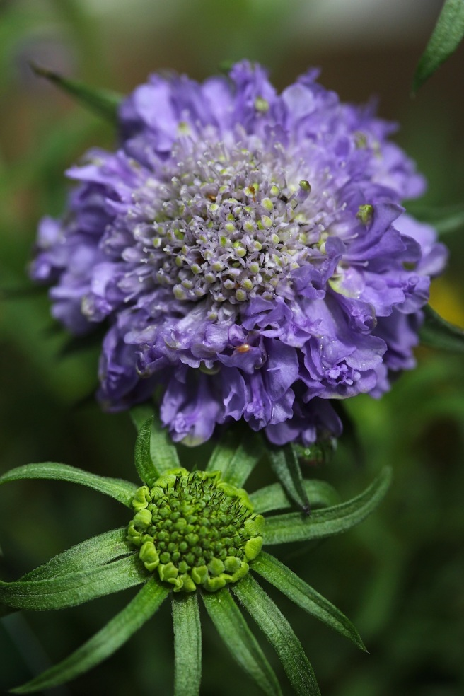 Scabious | Wolves in London