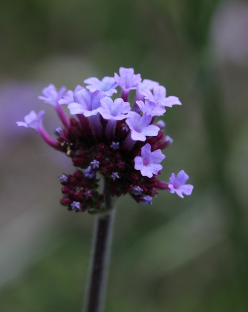 Verbena bonariensis | Wolves in London
