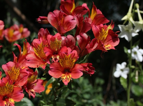 Alstroemeria | Wolves in London