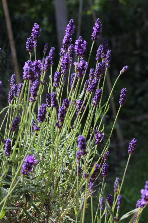 Lavender bush | Wolves in London
