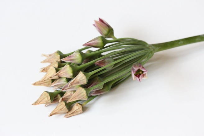 Nectaroscordum siculum (honey garlic) | Wolves in London