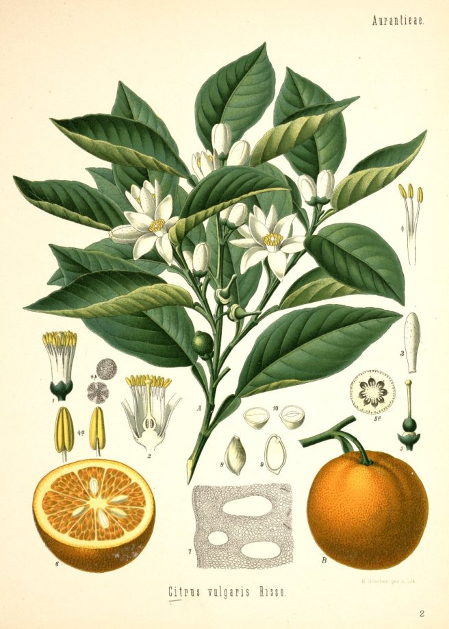 Orange botanical vintage image