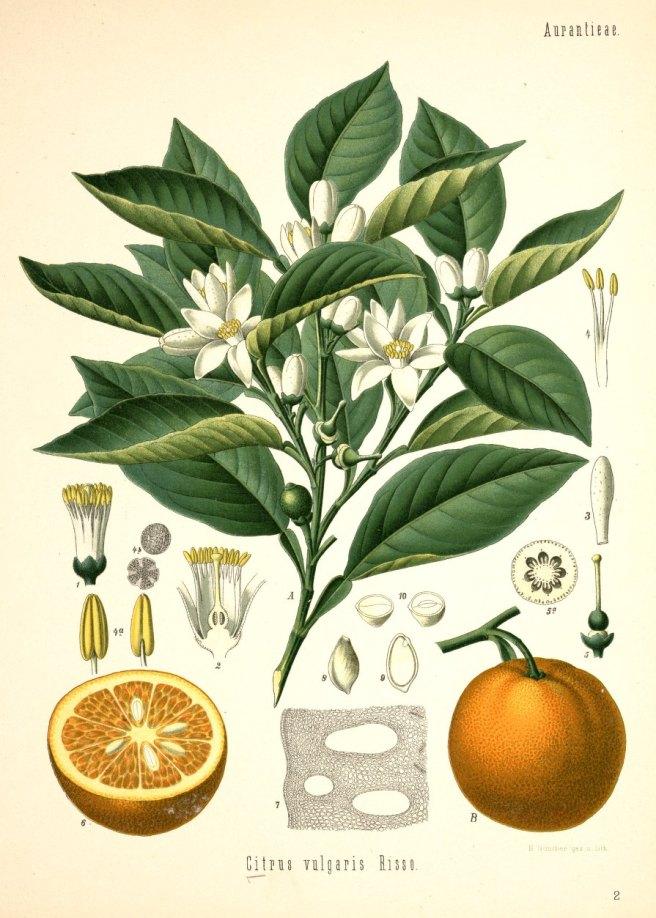 Orange botanical vintage image
