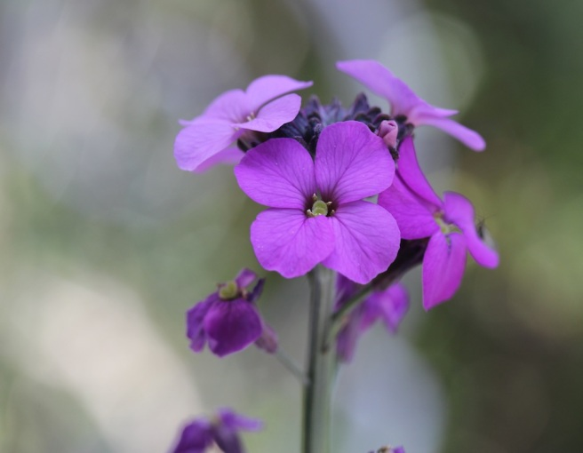 Erysimum 'Bowles Mauve' | Wolves in London