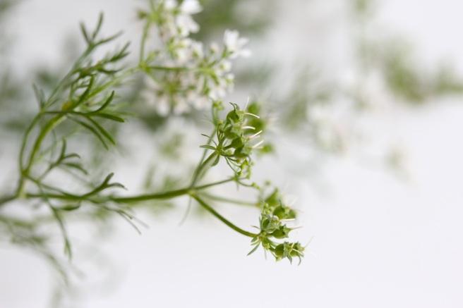 Flowering coriander | Wolves in London