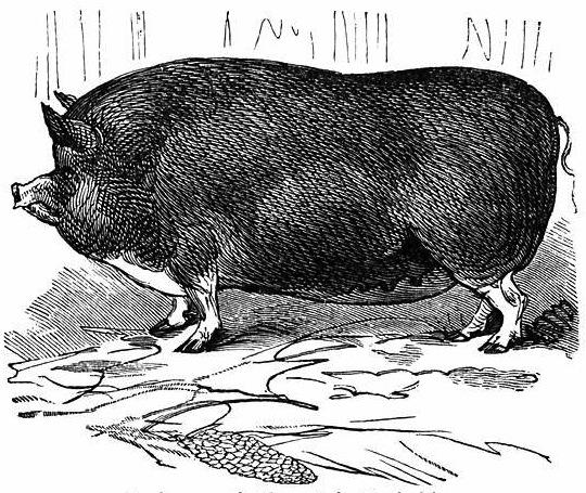 Vintage pig image | Wolves in London