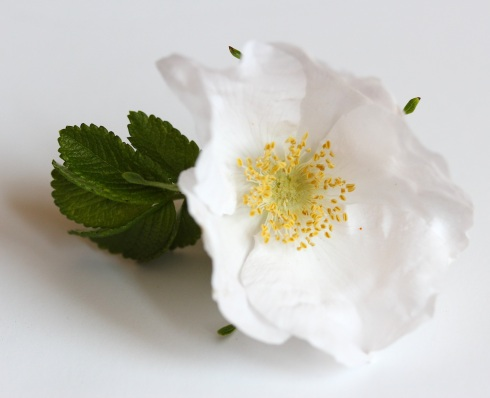 Rosa rugosa alba | Wolves in London