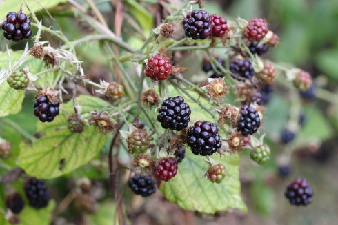 Blackberries | Wolves in London