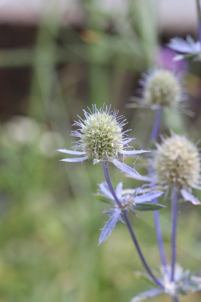 Eryngium 'Jos Eijking' | Wolves in London