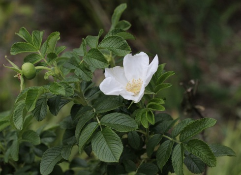 Rosa rugosa | Wolves in London