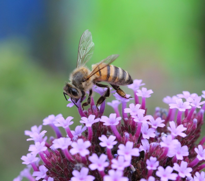 Bee on verbena | Wolves in London