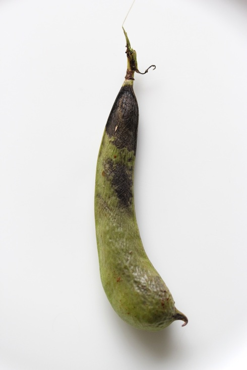 unappetising broad bean | Wolves in London