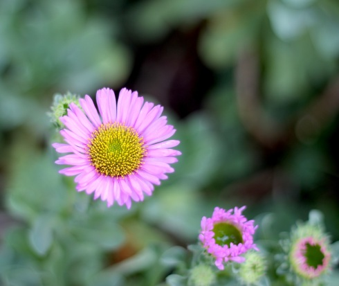Erigeron | Wolves in London