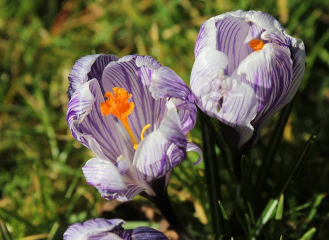 Crocuses at Wisley | Wolves in London