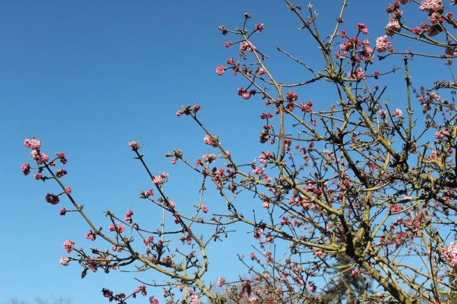 Viburnum x bodnantense 'Dawn' at Wisley | Wolves in London