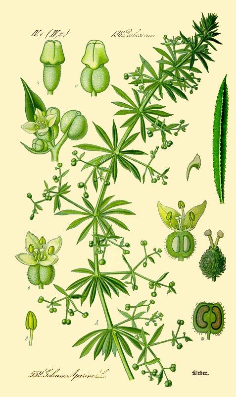 Cleavers weed botanical image