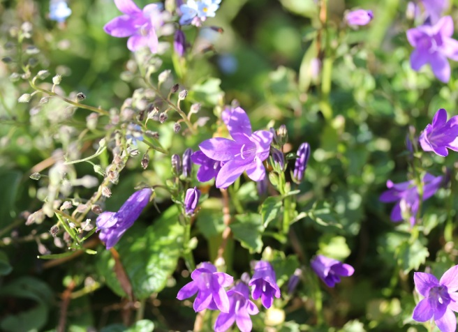 Campanula and forget-me-nots