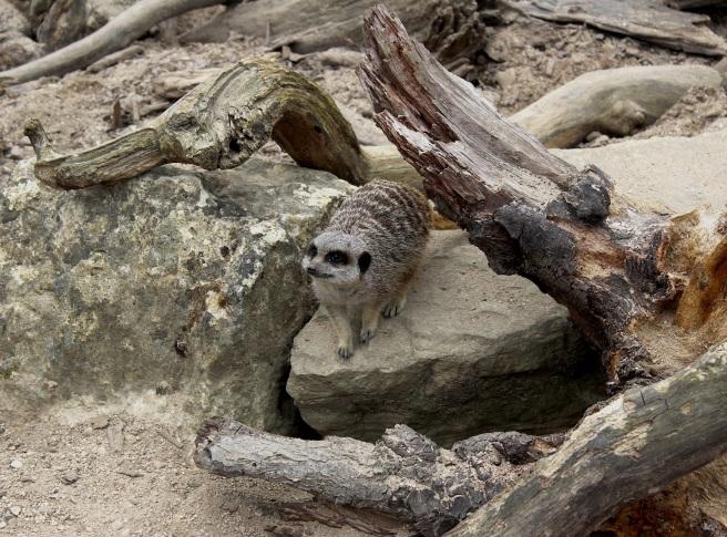 Meerkat at Cotswold Wildlife Park