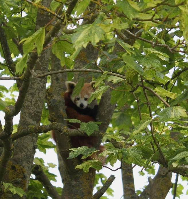 Red panda at Cotswold Wildlife Park