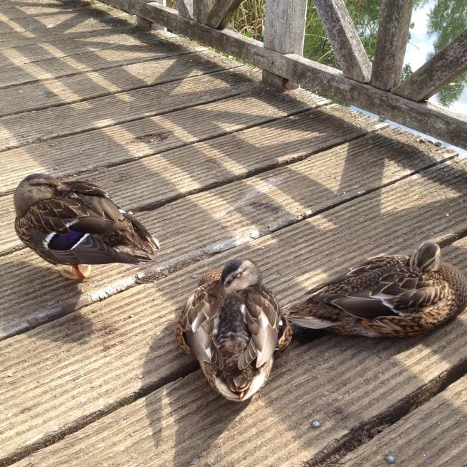 Ducks at London Wetland Centre