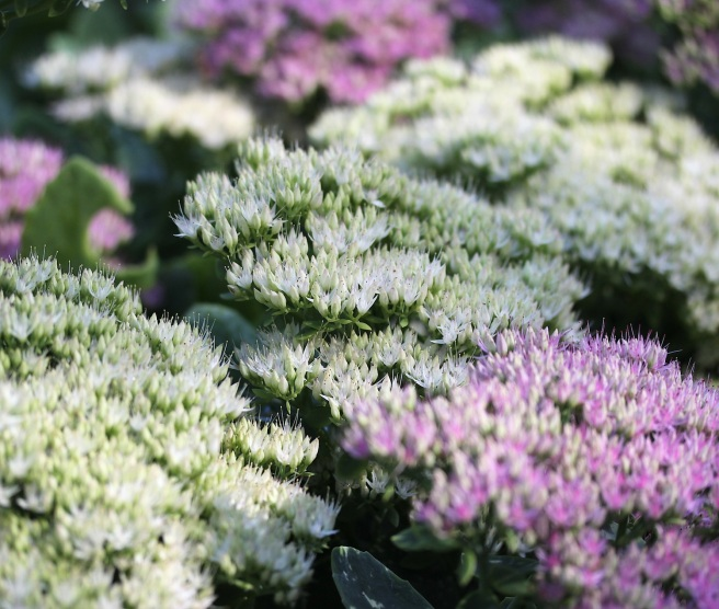 Sedum flowers at Regents Park