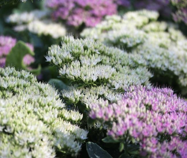 Sedum flowers at Regents Park