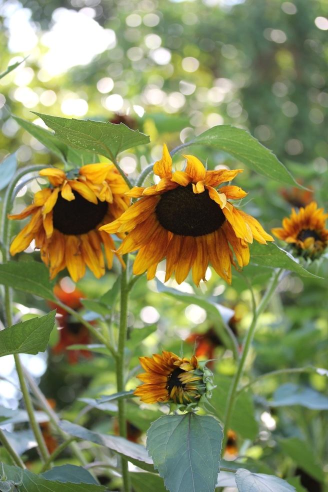 Sunflowers in Regents Park