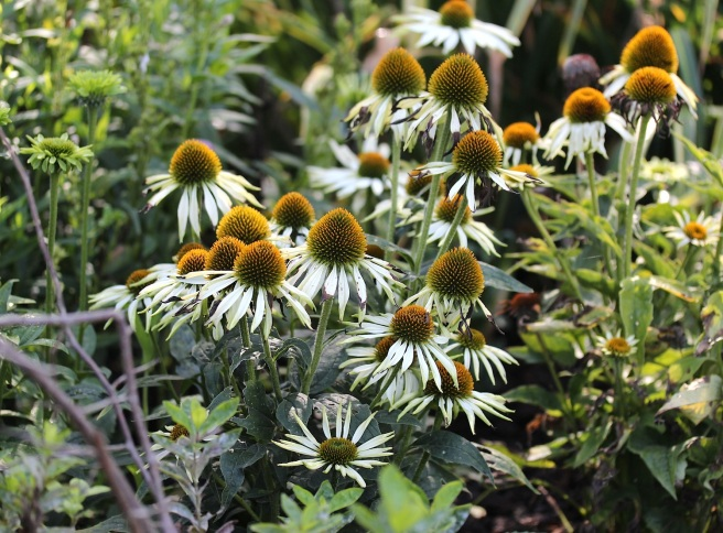 Echinacea in Regents Park