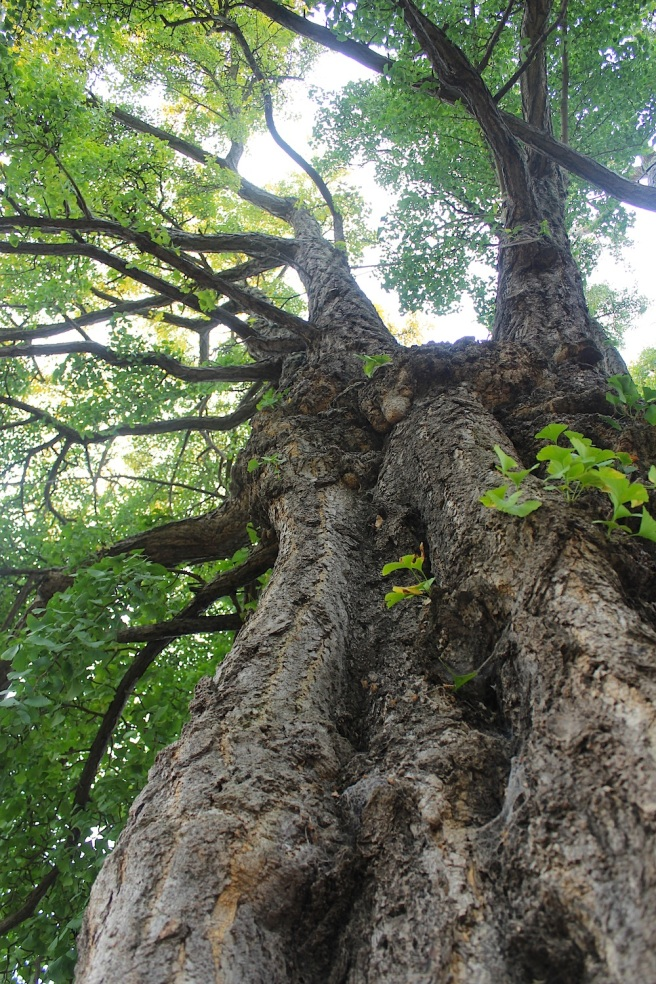 Ginkgo trunk
