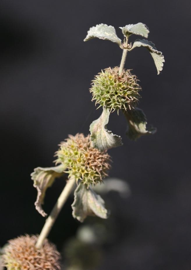 Phlomis seedhead