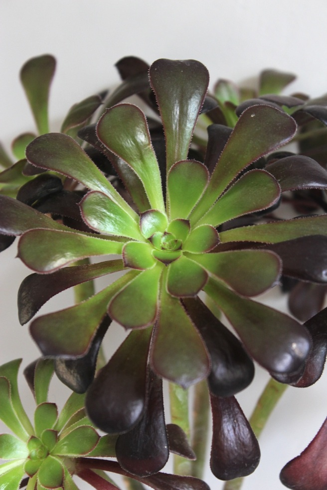 Aeonium | Wolves in London