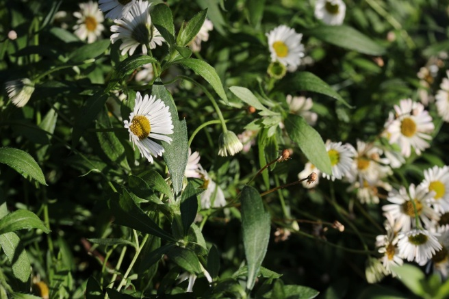 Mexican fleabane | Wolves in London