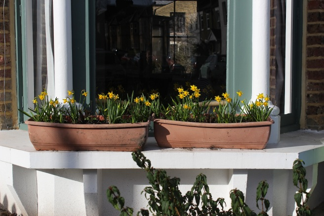 Daffodil window box