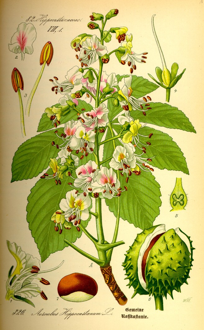 Botanical illustration of horse chestnut (Aesculus hippocastanum)