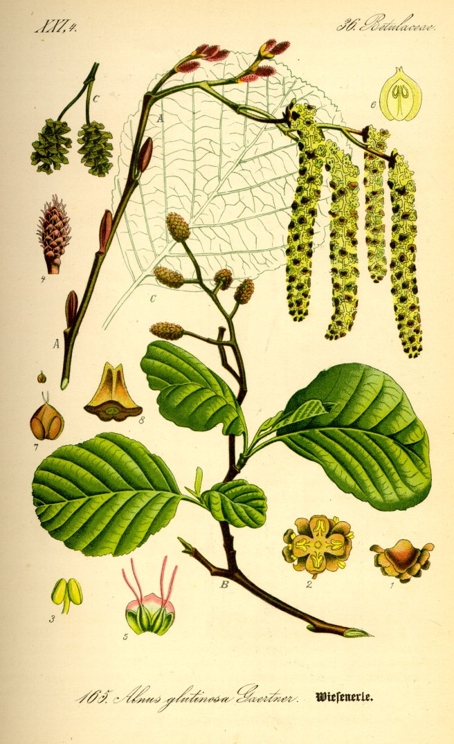 Botanical illustration of alder (Alnus glutinosa)