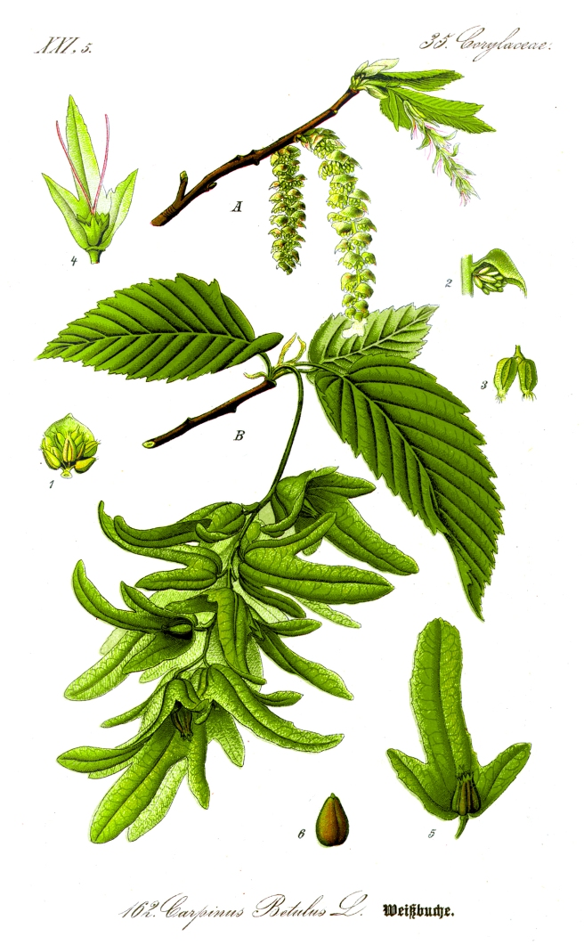 Botanical illustration of hornbeam (Carpinus betulus)